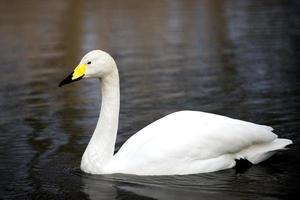 witte wilde zwaan die bij het meer in Londen zwemt foto