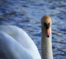 witte zwaan naar voren gericht foto