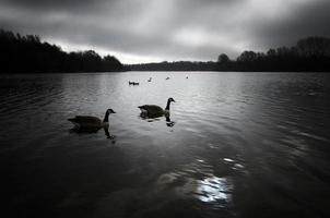ganzen op een meer. foto