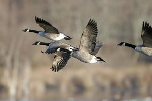 tijdens de vlucht migrerende Canadese ganzen
