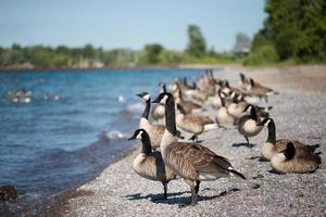 ganzen die zich op het strand bevinden
