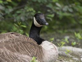 Canada Goose ontspannen foto