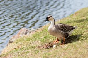 grijze gans in de buurt van nest met ei foto