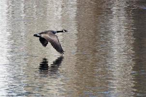 Canadese ganzen vliegen over water foto
