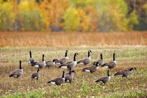 Canadese ganzen in een veld foto