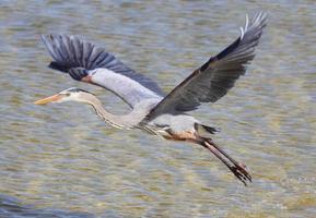 grote blauwe reiger die over water vliegt foto