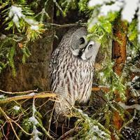 grote grijze uil op boom in winter3 foto