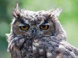 grote gehoornde uil close-up portret foto