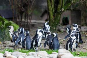 pinguïns foto