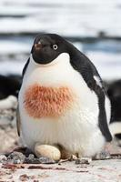 vrouwelijke adeliepinguïn die broedt in een eenvoudig nest foto