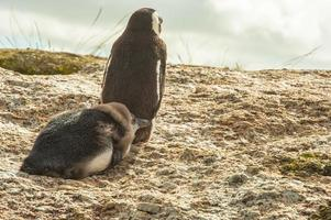 jackass pinguïn en kuiken foto