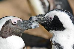Afrikaanse pinguïn foto