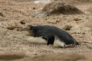 pinguïn met gele ogen die op strand rust