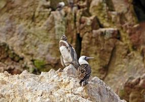 jonge pinguïn en een booby op rotsen foto