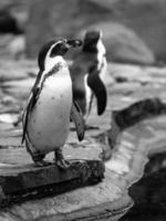 humboldt pinguïn foto