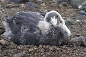 bijna volledig ruiende chick zuidelijke reuzenstormvogel
