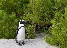 Afrikaanse pinguïn (spheniscus demersus) foto