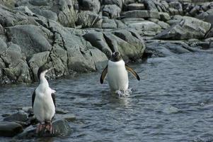 Ezelspinguïn waadt door het water met een aalscholver met blauwe ogen foto