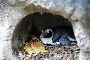 pinguïn in zijn nest foto