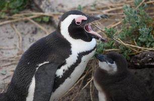 volwassen en baby Afrikaanse pinguïn foto