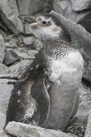 Magelhaenpinguïn rui tussen de rotsen foto