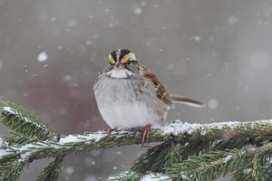 vogel in de sneeuw foto