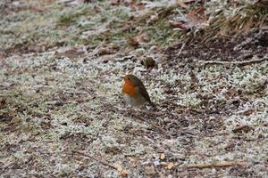 roodborstje op ijzige grond