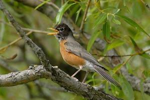 Amerikaanse robin zingen foto