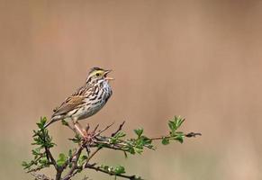 zingende savannemus foto