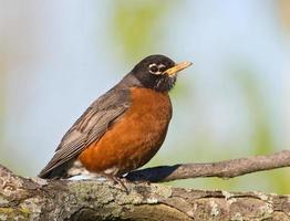 Amerikaanse robin die op een grote tak rust foto