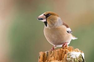 Hawfinch op een stronk foto
