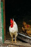 witte kip die uit de schuur kijkt foto