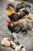 hanen en kippen foto