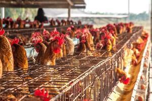 eieren kippen in de lokale boerderij foto
