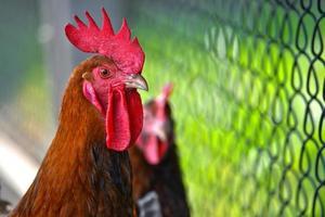 haan op vrije uitloop pluimveebedrijf foto