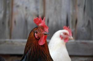 twee kippen foto