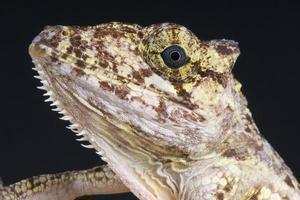 valse kameleon anole / anolis porcus foto