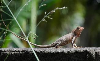 kleine draak. hagedis in de natuur,