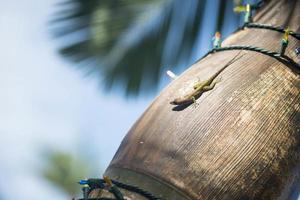 hagedis op een palmboom foto