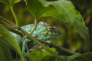 l'endormi ou caméléon, ile de la réunion foto