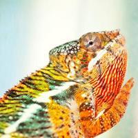 kameleon foto