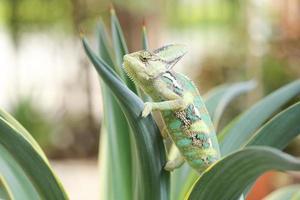 gesluierde kameleon op agave plant foto