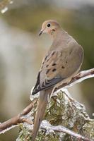 winter duif foto