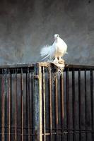 witte duif en kooi foto