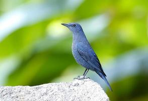 blauwe rotslijster monticola solitarius foto