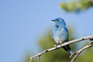berg bluebird zat in een boom foto