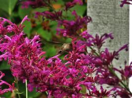 gelukkige kolibrie
