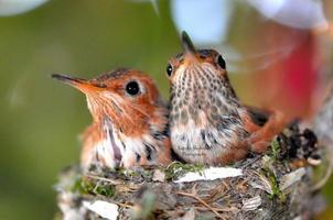 pasgeboren kolibries foto