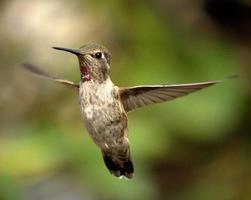 kolibrie tijdens de vlucht foto