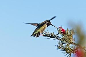 Anna's kolibrie foto